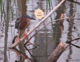 Héron vert à la pêche! - Fishing Green Heron!