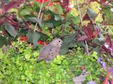 Tourterelle en jardinière - Mourning Dove in a flower pot