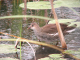 Gallinule poule-d'eau - Common moorhen