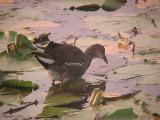 Gallinule poule d'eau immature - 2007 - Juvenile Common Moorhen