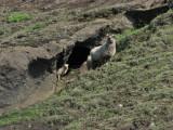 Sheep at Domadalur
