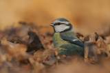 Blue Tit - Pimpelmees