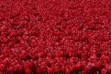 Tulipfields - Bollenvelden, Flevoland