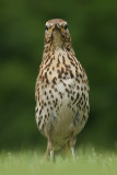 Song Thrush - Zanglijster