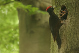 Black Woodpecker - Zwarte Specht