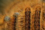 Ground Lackey - Heideringelrups
