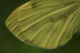 Small White - Klein Koolwitje