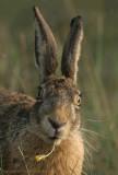 Hare - Haas