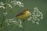 Yellow Wagtail - Engelse Kwikstaart