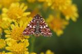 Beautiful Yellow Underwing - Roodbont heide-uiltje