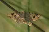 Peacock Moth - Gewoon Klaverblaadje