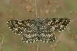 Common Heath - Gewone Heispanner
