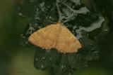 Yellow Shell - Gestreepte Goudspanner