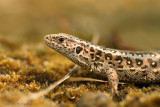 Sand Lizard - Zandhagedis