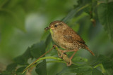 Winter Wren - Winterkoning