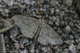 Geometridae - Variabele spikkelspanner