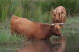 Bos Taurus - Schotse Hooglander