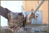 Merle d'Amérique sur le nid