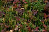 Flore de Tadoussac