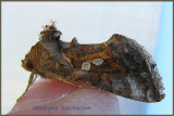 Pink-washed Looper Moth  (Enigmogramma basigera)