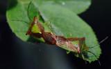 Acanthosoma-haemorrhoidale.jpg