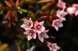 Loiseleuria-procumbens.jpg