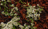 Cochlearia-officinalis.jpg
