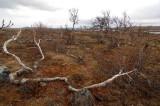 Betula-pubescens_subsp_czerepanovii.jpg