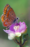 Polyommatus-icarus.jpg