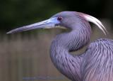 11053  - Tricolor Heron