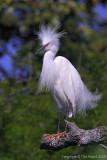 30135w = Snowy Egret