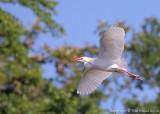 11452 - Cattle Egret
