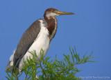 16315 - Tricolor Heron