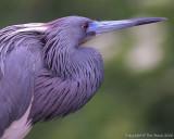 13430 - Tricolor Heron
