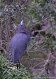 13488 - Little Blue Heron