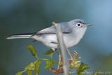 22870c - Blue gray gnatcatcher