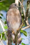 22954 -  Red shoulder hawk