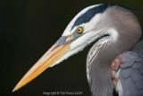 24057 =  Great Blue Heron