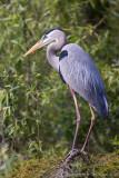24076 -  Great Blue Heron