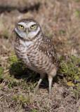 22395w Burrowing Owl