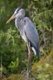 24106w Great Blue Heron