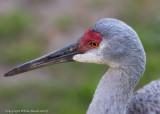 22166  -   Sandhill Crane