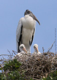 30683c - Wood Stork with chicks