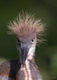 30359c - Tricolor heron juvenile