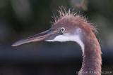 30458c - Tricolor heron