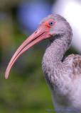 29434c - White Ibis