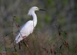 30469c - Snowy Egret