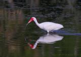 30506c - White Ibis