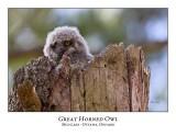 Great Horned Owl-024