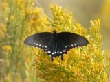 Papilionidae - Swallowtails